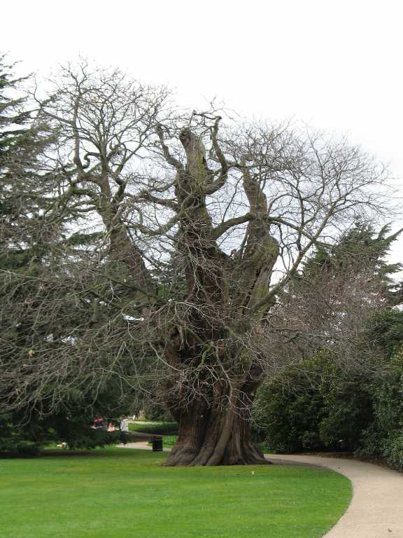 Greenwich Park, ancient tree