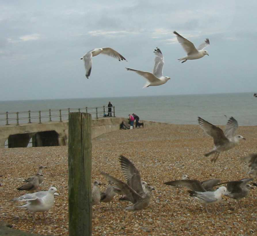Hastings seagulls