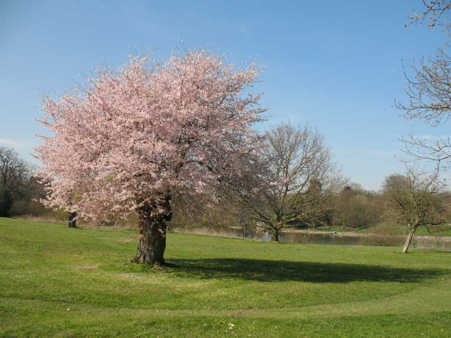 Maidstone Mote Park pink flowering cherry