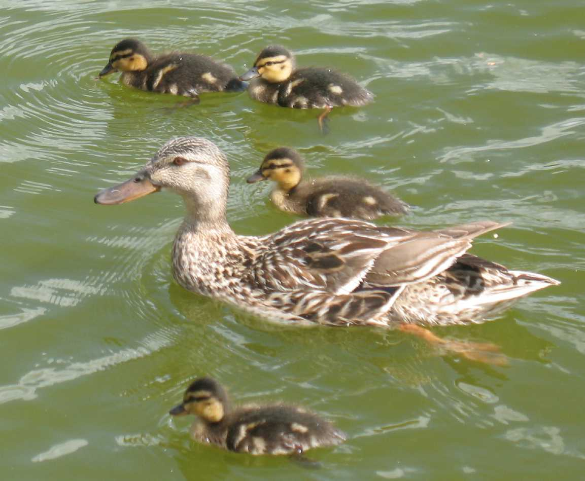 Maidstone Mote Park mallard and ducklings