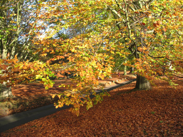 Mote Park entrance road autumnal beech trees