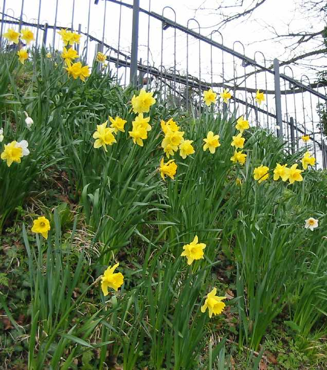 Daffodils on the motte