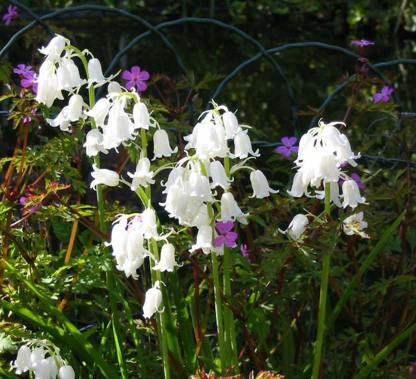 White bluebell